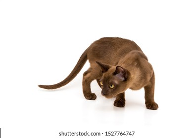 Burmese cat. Cute playful chocolate-colored kitten. On white background