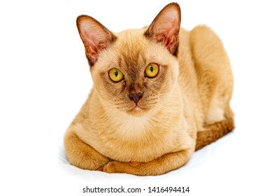 Burmese cat kitty color chocolate, is a breed of domestic cat, originating in Thailand, believed to have its roots near the present Thai-Burma.