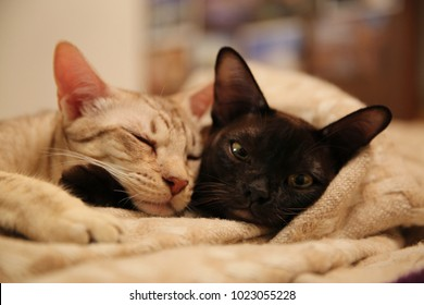 burmese cat and ocicat lying on the bed beige blanket