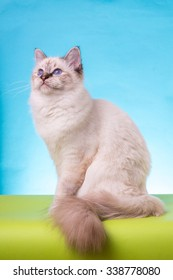 Burmese cat on a background isolated