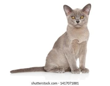 Burmese cat on white background. Animal themes