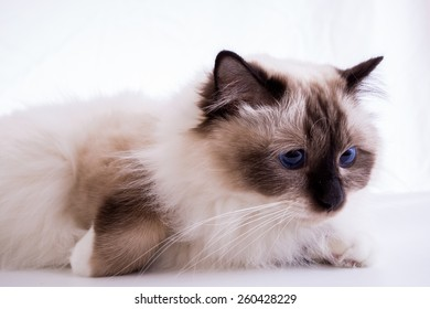 Burmese cat on a white background isolated