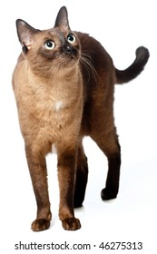 A Burmese cat on white background