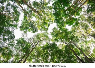 Picture of ebony tree