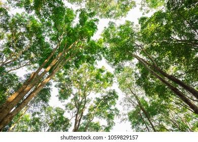 Burmese Ebony tree forest in morning