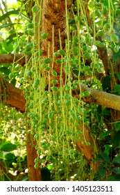 Burmese Grape ro Accaurea Ramiflora Lour ; Young and green Burmese grape on tree