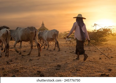 Burmese herder leads cattle herd through amazing sunset landscape with ancient Buddhist pagodas at Bagan. Myanmar (Burma), travel destinations
