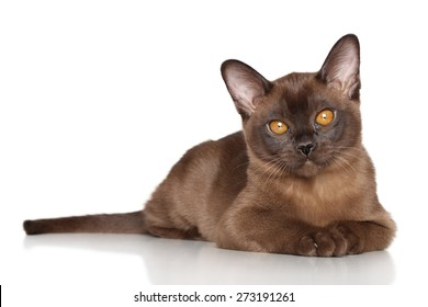 Burmese kitten lying on white background