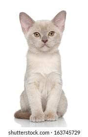 Burmese kitten posing on a white background
