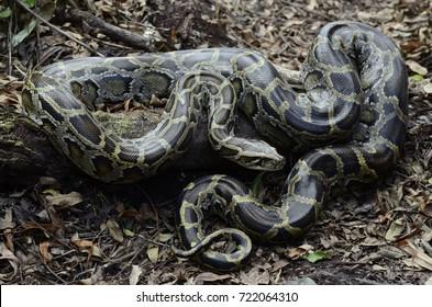 Burmese python (Python bivittatus)