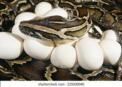 A Burmese python with a clutch of eggs