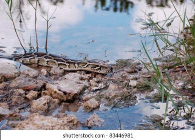 Burmese Python in the Everglades