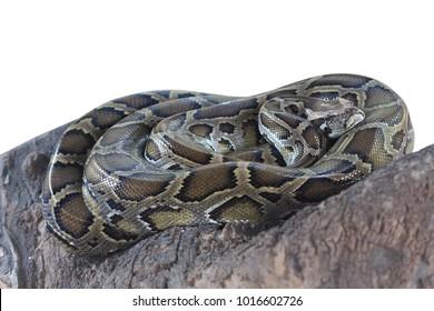Burmese python isolated on white background.