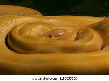 Burmese Python (Molurus Bivittatus)