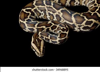 Burmese python (Python molurus bivittatus) isolated on black background.
