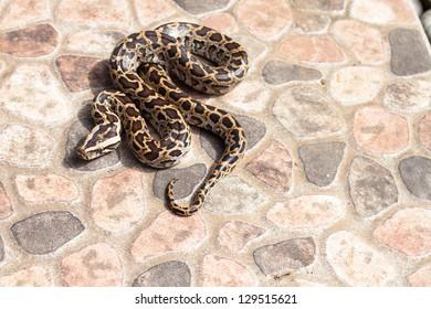 Burmese python (Python molurus bivittatus) on backyard