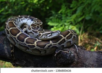 Burmese Python (Python molurus bivittatus) on a tree