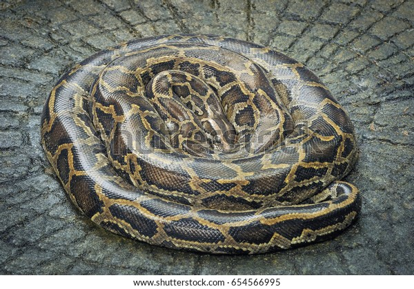 Burmese Python Sleep Roll Stock Photo (Edit Now) 654566995