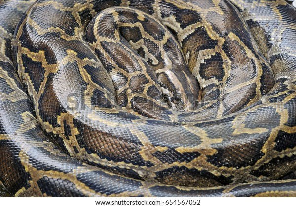 Burmese Python Sleep Roll Stock Photo (Edit Now) 654567052