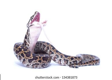 burmese python swallowing his prey (rat)