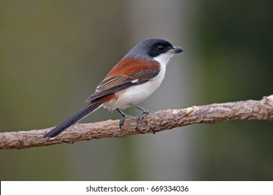 Burmese Shrike Lanius collurioides Cute Birds of Thailand