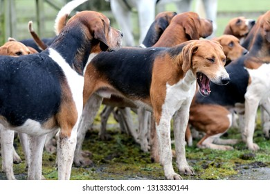 English Fox Hounds Images, Stock Photos & Vectors | Shutterstock