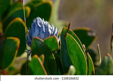 Burned Protea flower between the leaves in Van Stadens Wildflower Reserve