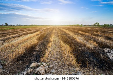 Burned rice stubble in a rice field after harvest with blue sky background white clouds sunset.