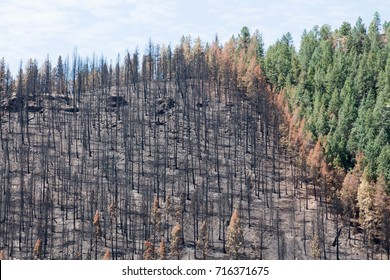 Burned zone next to green trees - Lightner Creek forest fire in Durango, Colorado