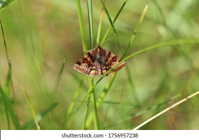 Burnet companion moth - owlet moths