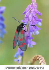 Burnet moth on wildflower