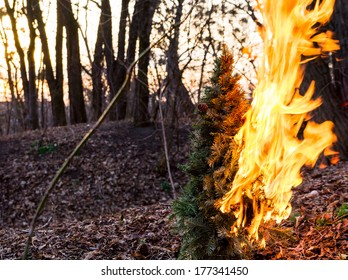 Burning Christmas tree at sunset in the wood