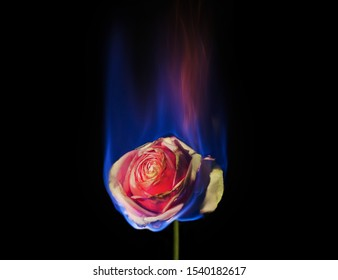 Burning Flower, Flower on fire. pink  rose in flame over black background with blue blaze. Creative unusual unrequited love romantic or sadness concept.