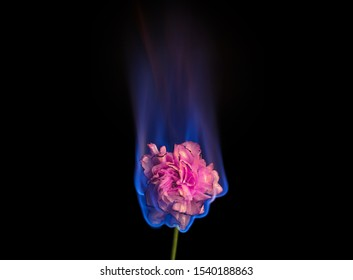 Burning flower on fire. Pink carnation flower in flame over black background with blue blaze. Creative unusual unrequited love or sadness concept.