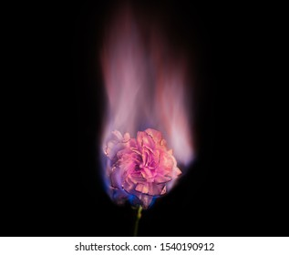 Burning flower on fire. Pink carnation flower in flame over black background with pastel pink blaze. Creative unusual unrequited love or sadness concept.