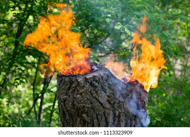 Burning old wooden stump in green forest