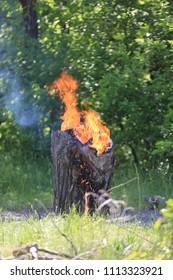 Burning wooden stump in summer forest