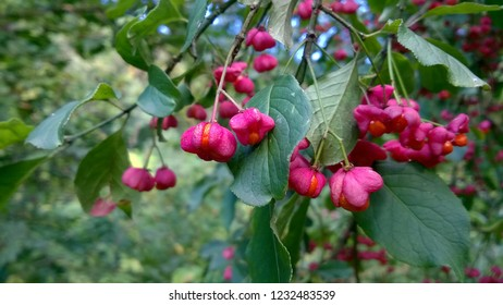 burning-bush, strawberry-bush, wahoo, wintercreeper, or simply euonymus. Euonymus is a genus of flowering plants in the staff vine family, Celastraceae.
