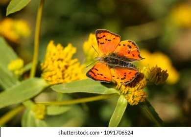 Sưu tập Bộ cánh vảy 3 - Page 33 Burnished-opal-butterfly-260nw-1091706524