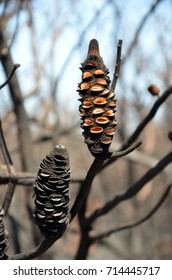 Burnt Banksia cones releasing seeds. Opened by a bushfire in heathland in Kamay Botany Bay National Park, NSW, Australia
