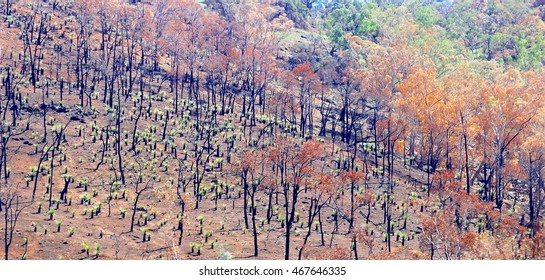 Burnt Eucalyptus trees after a bush fire and little new trees are growing, Australia. Recovery after natural disasters.