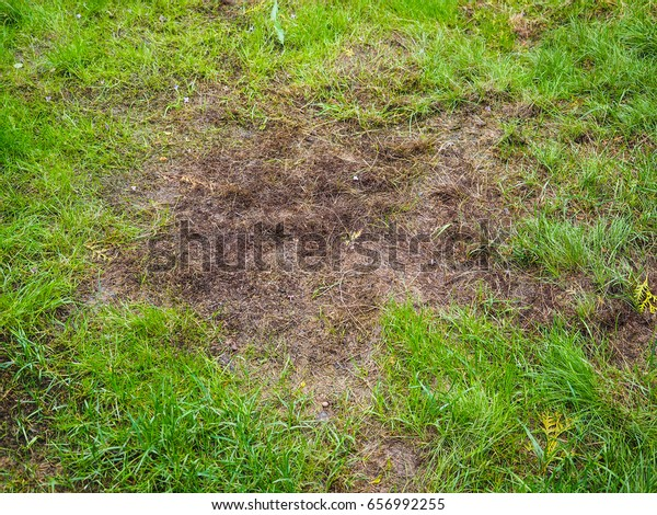 Burnt grass after moss attack during winter, fresh green grass recovering on lawn