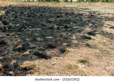 Burnt grass. Half burnt dry yellow grass. Fires from extreme heat
