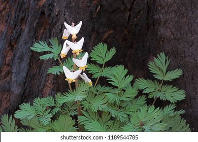A burnt out tree stump is the backdrop for the small white teardrop-shaped bulblets of a dutchman's breeches. The white fingernail sized flowers stand out prominently against the blackened log.