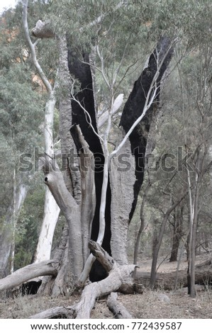 Burnt Out Trunk Gum Tree Spindly Stock Photo Edit Now 772439587