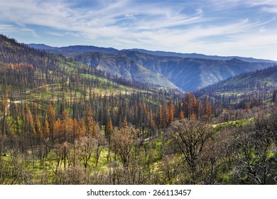 Burnt pine trees in Stanislaus national forest two years after Rim Fire