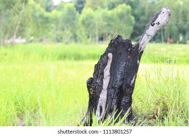Burnt tree stump on green grass