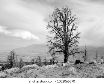 Burnt trees after a fire in the Eastern Sierras in black and white.
