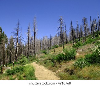 Burnt trees in recovering forest