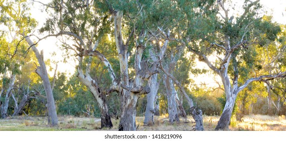 BURONGA, NEW SOUTH WALES, AUSTRALIA - CIRCA APRIL, 2017: Mature old-growth river red gum riparian woodland beside the River Murray near Mildura in the Murray-Darling River system.